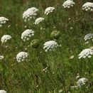 Calcareous Wildflower Seed Mixture 100% additional 5