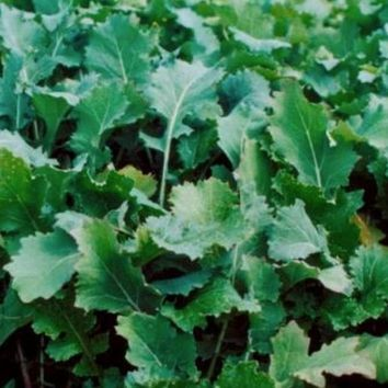 Emerald Forage Rape Seed