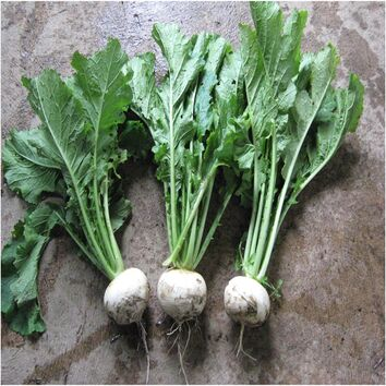 Whitestar Stubble Turnip Seed