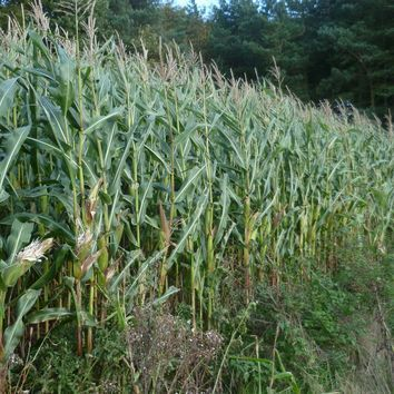 All Seasons Maize Seed Mix