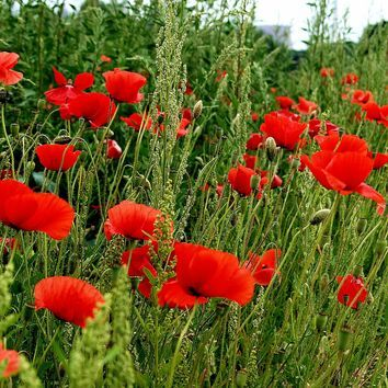 value wildflower seed mixture 100%