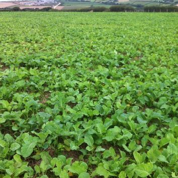 MARIS KESTREL KALE SEED UNTREATED